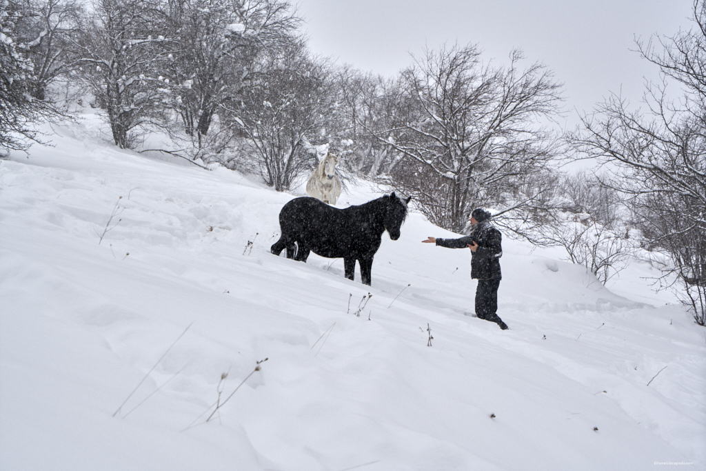 Man interacting with a free semi-wild (semi-feral ) horse in the mountain during a snow blizzard with heavy snowfall